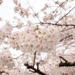 奈良の桜 ライトアップ名所2017!時間と見どころは?