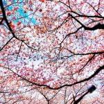 京都 桜の名所 2017 穴場はどこ?見ごろとライトアップ時間!